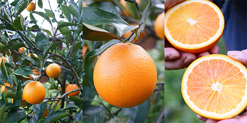 ブラッドオレンジ タロッコ