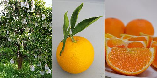 清見(きよみ)オレンジ