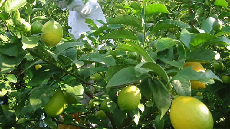 レモン樹上イメージ